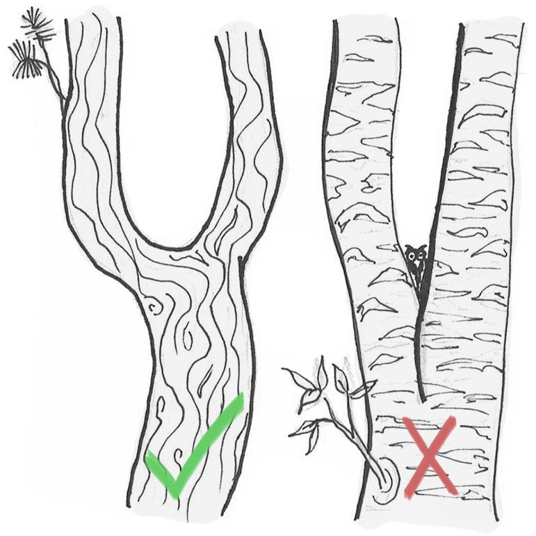 Unterschied U und V-Zwiesel Stammgabelung