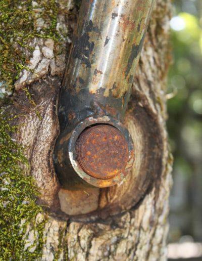 Stahl Bolzen Schraube in Baum wird überwallt ohne Schaden